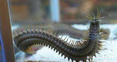 外形如巨型蜈蚣 死亡之虫