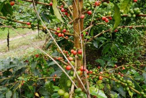耶加雪菲咖啡店必备精品咖啡豆 星巴克安芭肯达咖啡豆