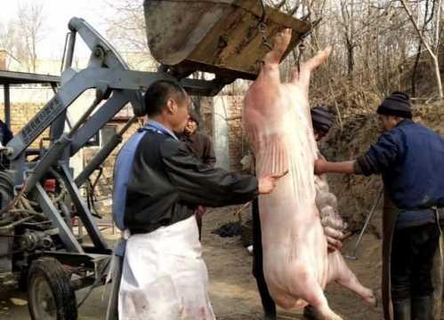 农村大叔杀猪技术厉害了 杀猪大叔