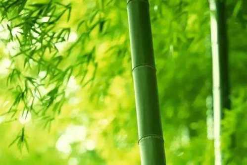 为什么竹子的风水寓意比较好 竹子放在哪里风水好