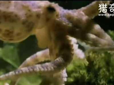 具有剧毒可上岸 沼泽章鱼