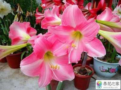 如何使朱顶红花期更长保持花朵艳丽 单朵花期最长的花