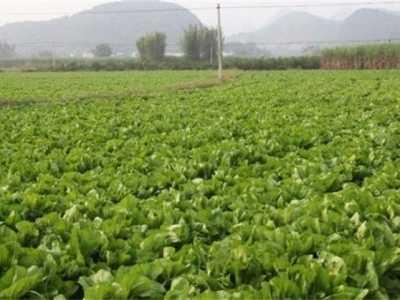 芥菜种植时间和方法 芥菜的种植方法和时间
