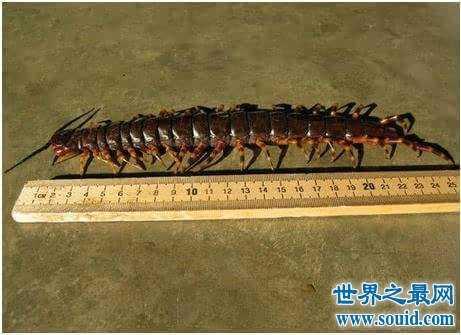 世界上最大的巨型蜈蚣 有巨型蜈蚣的蜈蚣岛