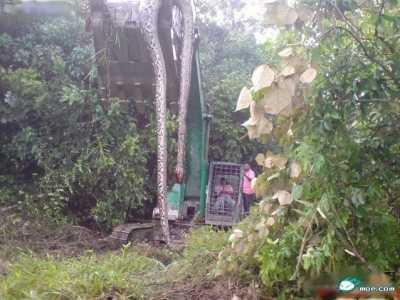 天门挖出16米百年大蛇 16米大蛇