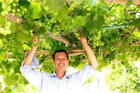 为什么农村院子不种葡萄 自家院子可以种葡萄吗