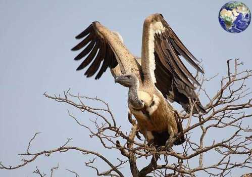 能飞到一万一千米以上的高空 世界最大的飞行鸟
