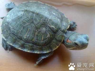 巴西龟吃什么 小巴西龟食物