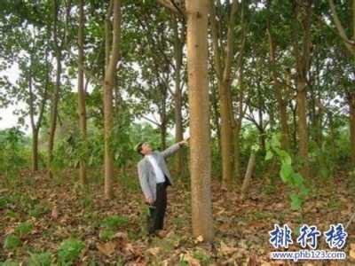轻木10年能长16米 世界上生长最快的树