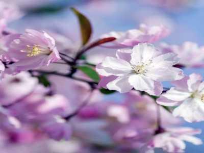海棠要怎么种呢 海棠花的种植