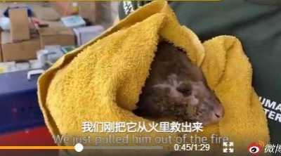 澳洲负鼠鼻子被山火烧秃 澳大利亚负鼠