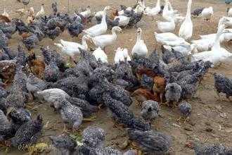 鸡粪处理还能有工艺 养鸡工艺